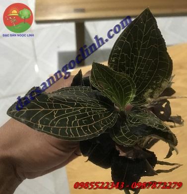 Nhân giống và trồng thử nghiệm thành công cây lan Kim Tuyến
