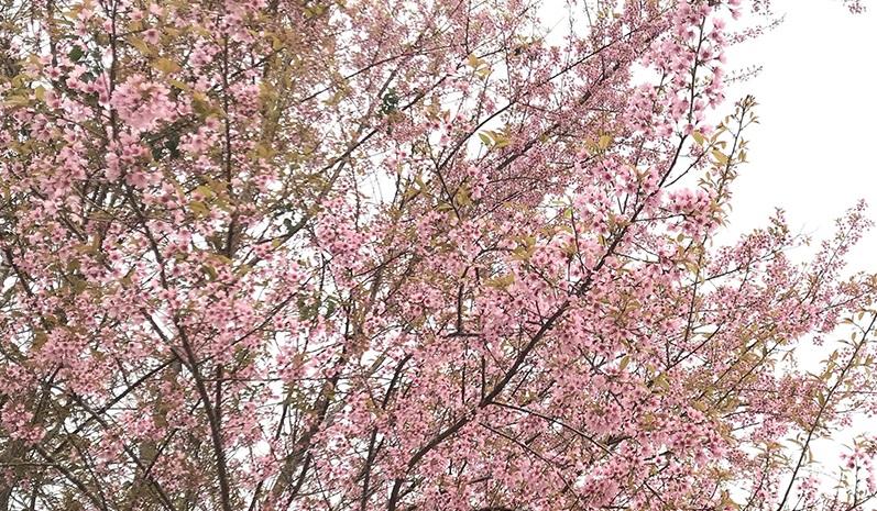 Mùa hoa Mai anh đào trên cao nguyên Măng Đen Kon Tum